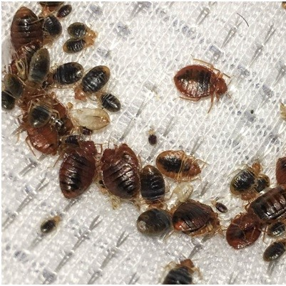 Bed Bugs control in Faversham, Queenborough, Sheerness, Sheppey, Sittingbourne