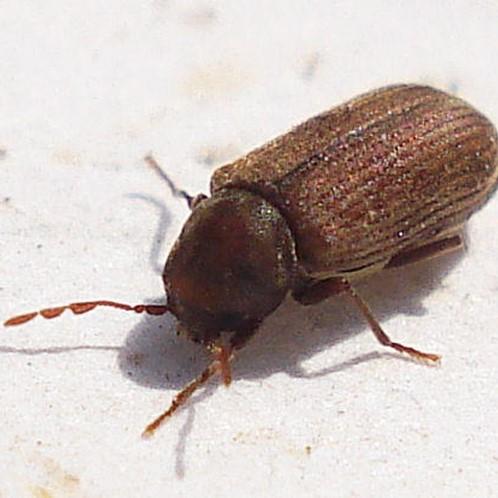 Woodworm pest control