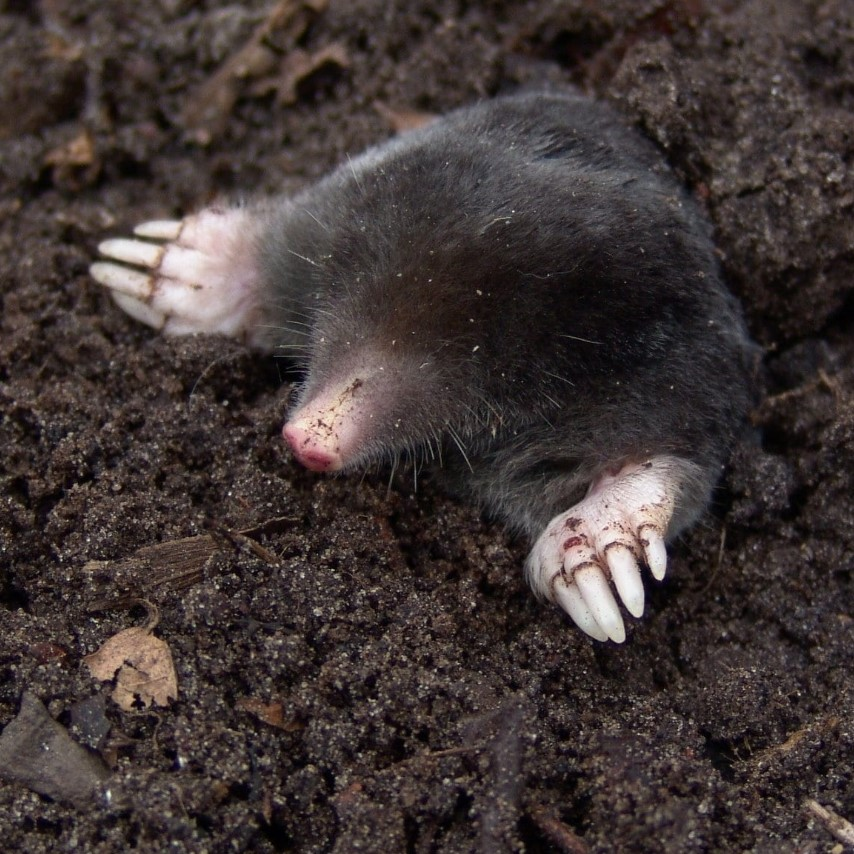 24 7 mole pest control services in Sheppey, Sittingbourne, Sheerness